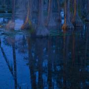 Cypress trees at dusk in the swamp